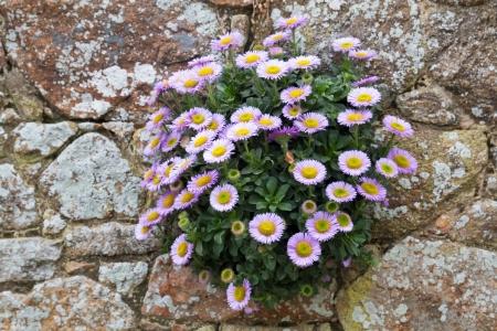 Seaside daisy (Erigeron glaucus) groeien op een stenen muur
