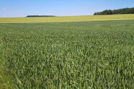wheatfield: Wheat field in Bavaria, Germany