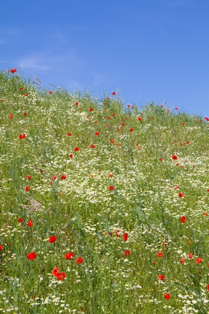chamomilla: Blooming Camomile (Matricaria chamomilla) and red poppies (Papaver Rhoeas)