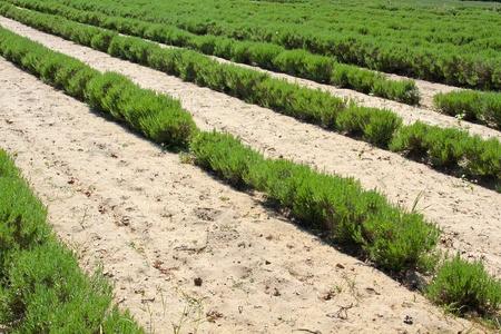 lavandula: Lavender (Lavandula angustifolia) farming on the channel islands Stock Photo
