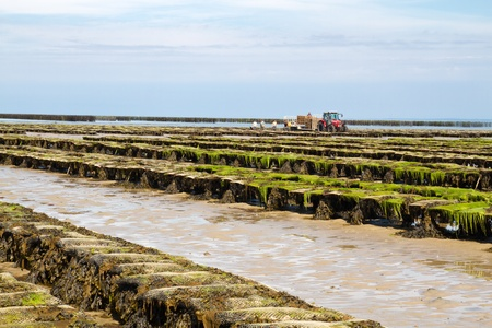 uk cuisine: Oyster beds offshore the channel island of Jersey, UK Stock Photo