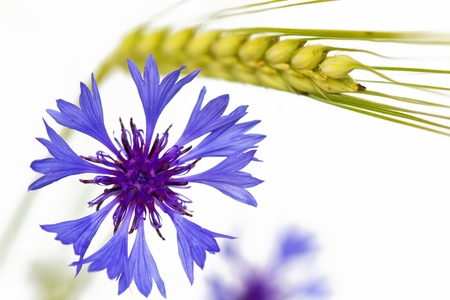 Blooming Cornflower (Centaurea cyanus), isolated on white background Stock Photo - 10523103