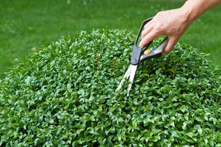 Trimming a box tree plant (Buxus sempervirens)  Stock Photo