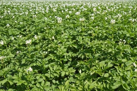 Blooming potatoe field in Germany photo