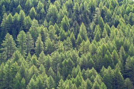 Lariks bos, beeldvullende achtergrond Stockfoto - 10523403