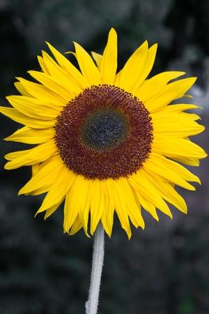 helianthus: Blooming Sunflower (Helianthus) in a field