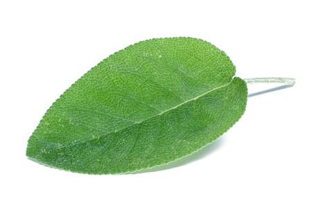 Salie (Salvia) op wit wordt geïsoleerd