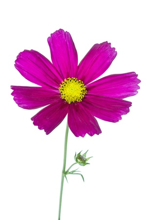 Cosmos bipinnatus bloem op een witte
