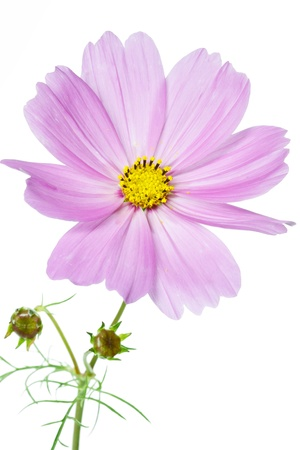 Cosmos bipinnatus flower on white