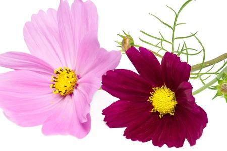 Cosmos bipinnatus flower on white photo
