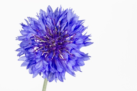 Blooming Korenbloem (Centaurea cyanus), geïsoleerd Stockfoto - 10523129