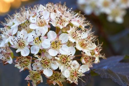 Blooming Ninebark (Physocarpus opulifolius) in a garden