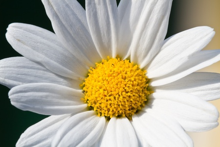 Blooming oxeye daisy (Leucanthemum) Stock Photo - 10523146