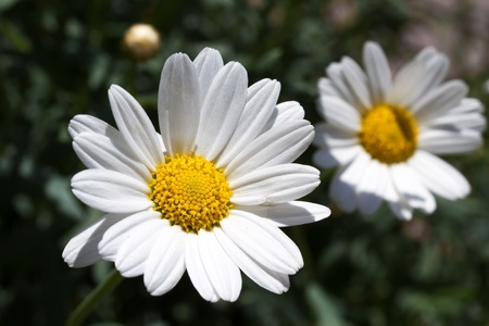 Blooming oxeye daisy (Leucanthemum) photo