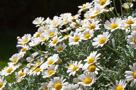 Blooming oxeye daisy (Leucanthemum) Stock Photo - 10523316