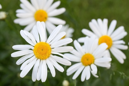 Blooming oxeye daisy (Leucanthemum) Stock Photo - 10523152