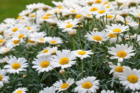 Blooming oxeye daisy (Leucanthemum) Stock Photo - 10523255
