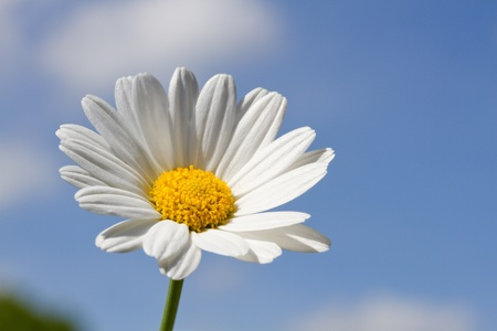 Blooming oxeye daisy (Leucanthemum) Stock Photo - 10523261