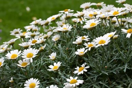 Blooming oxeye daisy (Leucanthemum) Stock Photo - 10523224