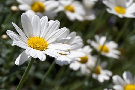 Blooming oxeye daisy (Leucanthemum) Stock Photo - 10523144
