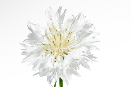 corn flower: Blooming white corn flower (Centaurea cyanus), isolated