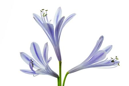 Afrikaanse blauwe lily (Agapanthus africanus), geïsoleerd