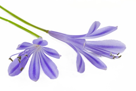 African blue lily (Agapanthus africanus), isolated photo