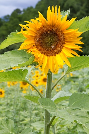 helianthus: Blooming Sunflowers (Helianthus) near a forest Stock Photo