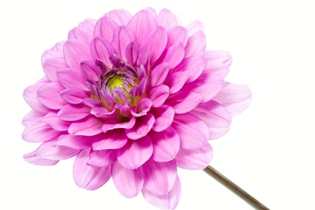 Blooming Dahlia, shot with large Depth of Field (DOF) Stock Photo