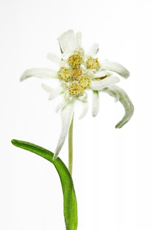 Blooming Edelweiss Flower (Leontopodium alpinum) photo