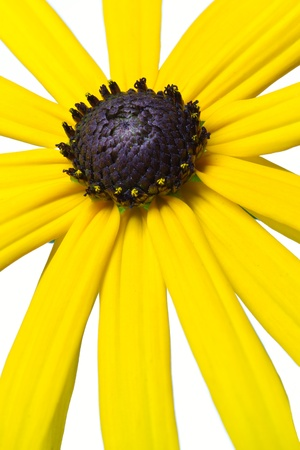 Yellow Rudbeckia flower, isolated on white photo
