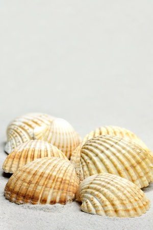 cockle: Common Cockle Shells (Cerastoderma edule) on sand