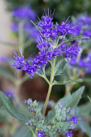 Single Caryopteris x clandonensis Flower in a garden