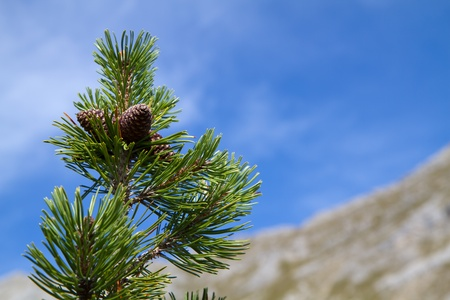 mugo: Branch of Pinus mugo against blue sky in the mountains, Bavaria