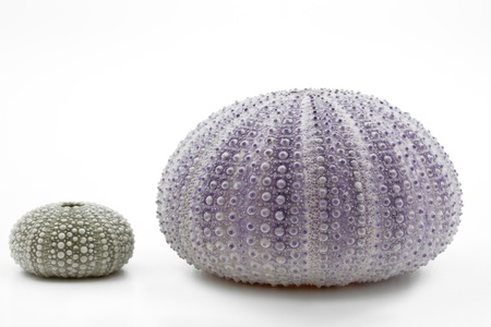 Sea urchin shells isolated on white