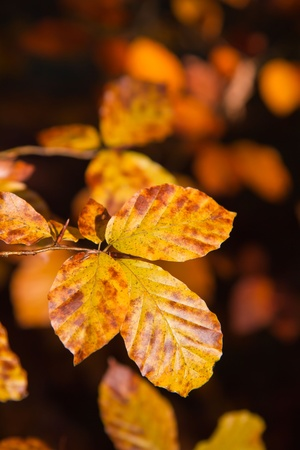 Indian Summer, colorful leaves closeup photo