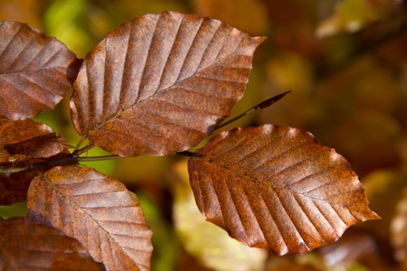 Indian Summer, colorful leaves closeup