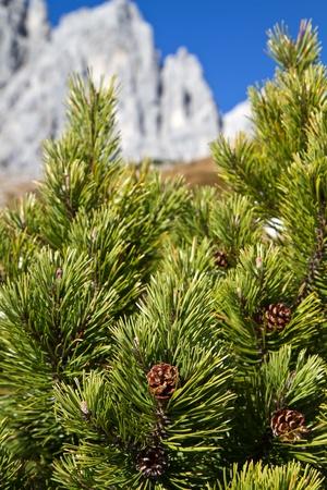mugo: Branch of Pinus mugo against blue sky in the mountains, Bavaria