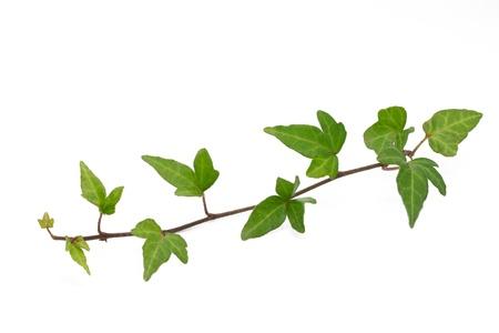 Ivy Blätter auf weißem Hintergrund Standard-Bild - 11231252