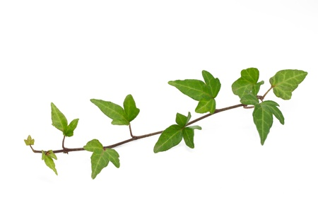 Ivy leaves on white background photo