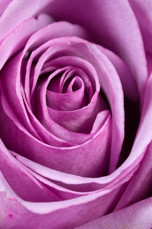 Dark pink rose closeup photo