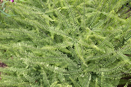 Fern (Nephrolepis) outside in a garden photo