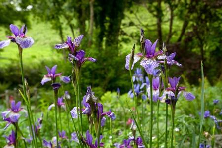 Purple iris flowers outside in a garden Stock Photo - 11920112