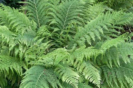 Fern (Dryopteris filix-mas) outside photo
