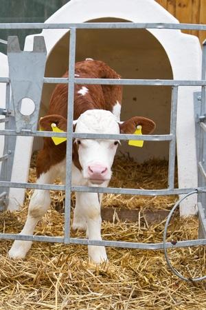 Baby koe kalf in een kooi