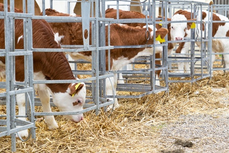 Baby cow calves in a cage Stock Photo - 11943461