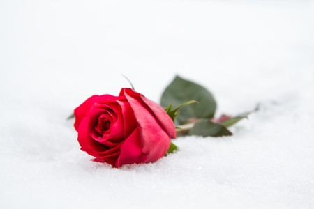 Red rose in snow photo
