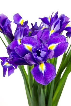 iris reticulata: Dark purple iris flowers isolated on white background