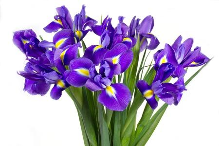 Donker paarse iris bloemen geà ¯ soleerd op witte achtergrond Stockfoto