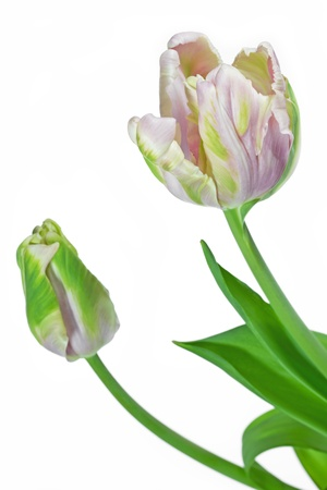 tulipa: Light pink and green tulip  tulipa  on white background Stock Photo